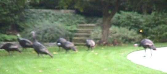 Turkeys in the Yard!
